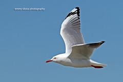 Silver Gull (0482)