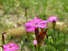 PinkFlowerCloseup - Photo of Malaussène