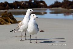 Silver Gulls_Juvenile (4808)