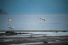 Flamingos on Lake Abiata