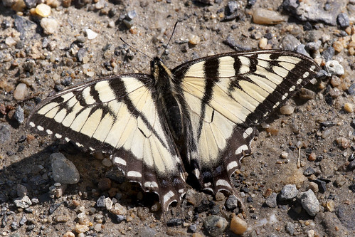 Papilio canadensis canadensis (Canadian Tiger Swallowtail)