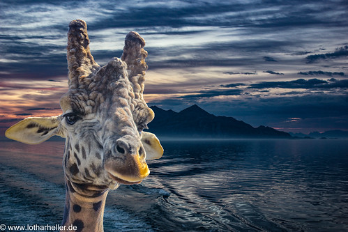 Giraffe_Lofoten