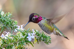 Anna's Hummingbird (male) feeding on Rosemary blossoms