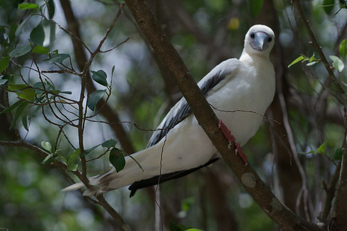 Christmas Island Red-Footed Booby