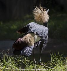 Memphis  Zoo 08-29-2019 - African Crane 1