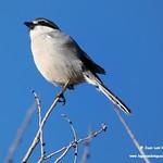 Aves en las lagunas de La Guardia (Toledo) 7-12-2019