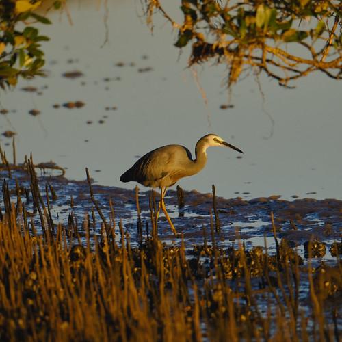 White Faced Heron.1