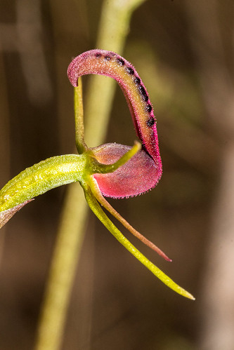 Small Tongue Orchid (Cryptostylis leptochila)