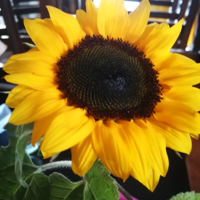 sunflower planting in Front lawn 2 rua by shiny
