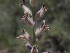 spindlestem, Caulanthus crassicaulis var. crassicaulis