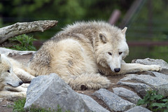 Arctic wolf among the trees