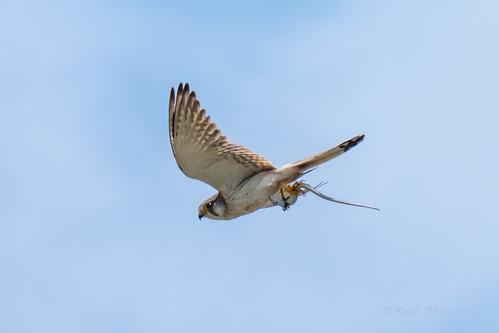 Nankeen Kestrel 2 (Falco cenchroides)