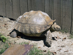 Memphis Zoo 08-29-2019 - African Spur Thigh Tortoise 2