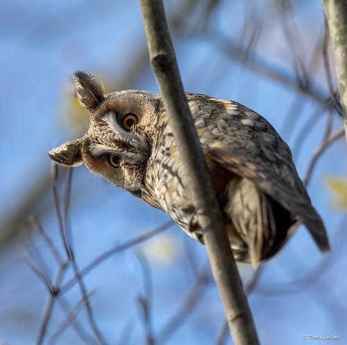 Ransuil - Long-eared Owl - Asio otus -