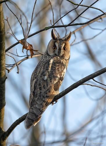 Ransuil - Long-eared Owl - Asio otus -9070