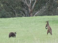Kangaroo Pair