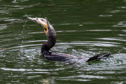 Great Cormorant 2 (Phalacrocorax carbo)