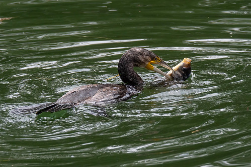 Great Cormorant 1 (Phalacrocorax carbo)