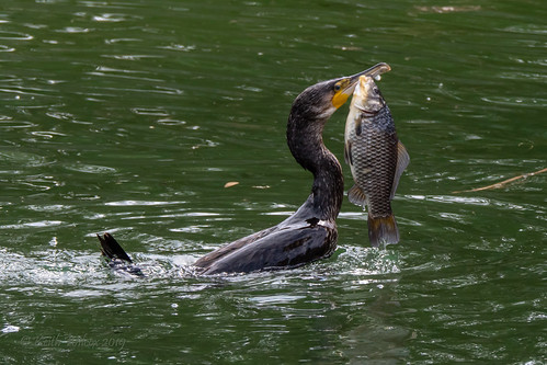 Great Cormorant 4 (Phalacrocorax carbo)