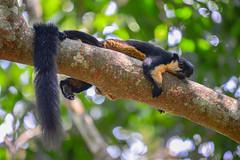 Ratufa bicolor, Black giant squirrel - Kaeng Krachan National Park