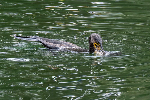 Great Cormorant 3 (Phalacrocorax carbo)