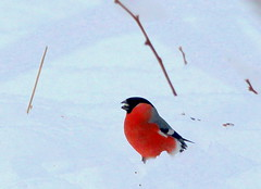 The bullfinch in snoe,,,