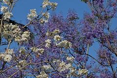 Jacarandas two trees - white and purple flowers