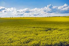 Canola field in Czech Republic