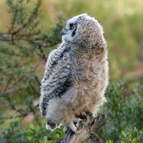 Great Horned Owl owlet, from 2016