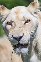 Potrait of the white lioness