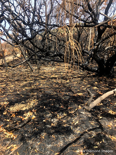 Burnt Littoral Rainforest, Saltwater Point, Saltwater National Park, Mid North Coast, NSW