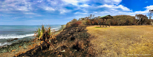 Pandanus tectorius after the Hillville Bushfire, Saltwater Point, Saltwater National Park, Mid North Coast, NSW