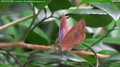 日本紫灰蝶;日本嬈灰蝶;紫小灰蝶#Arhopala japonica