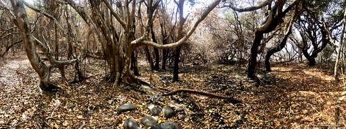 Ficus rubiginosa after Hillville Bushfire, Saltwater Point, Saltwater National Park, Mid North Coast, NSW