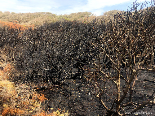 Burnt Littoral Rainforest after the Hillville Bushfire, Saltwater Point, Saltwater National Park, Mid North Coast, NSW