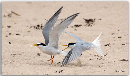 Little Terns squabbling