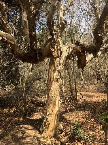 Melaleuca quinquenervia, Saltwater Point, Saltwater National Park, Mid North Coast, NSW