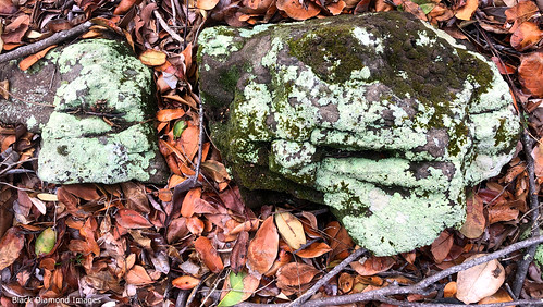 Unidentified Lichen, Saltwater Point, Saltwater National Park, Mid North Coast, NSW