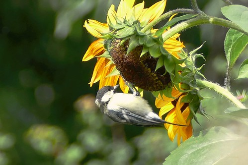 Autumn Beauty Sunflower : Seeds for Birds
