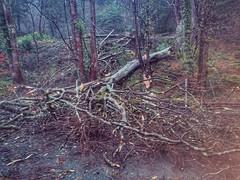 Big tree down in padarn park