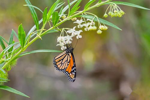 Wanderer/Monarch Butterfly