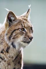 Nice attentive lynx