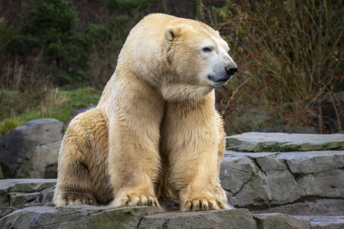 Eisbär Sprinter in der Sonne