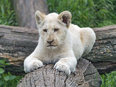 White lion cub on the log