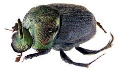 Onthophagus aeruginosus Roth, 1851 Male