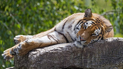 Young tiger lying on the rock and looking at me