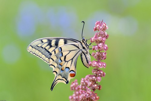 *The swallowtail lady in the morning II*