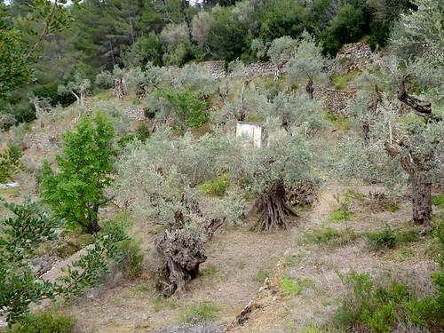 Deiá (Mallorca-España). Olivos centenarios