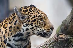 Profile portrait of the jaguaress