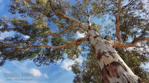 Grey Gum Eucalyptus punctata